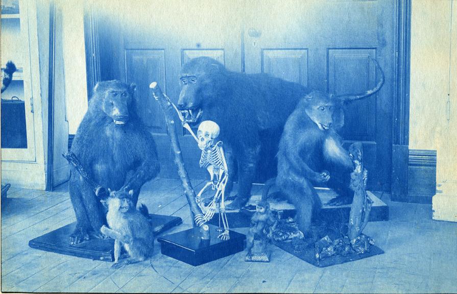 22. Stuffed animals in the MSU Museum, circa 1888
