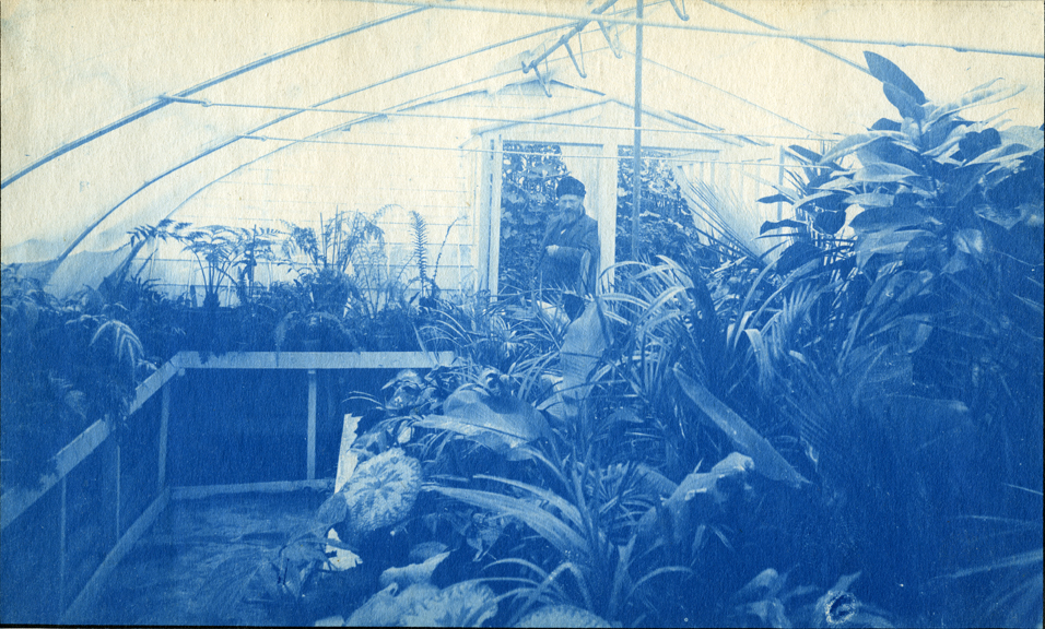 64. Greenhouse interior, circa 1888.