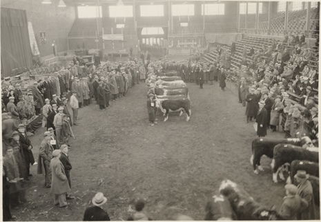 Cows being judged inside Demonstration Hall, 1933