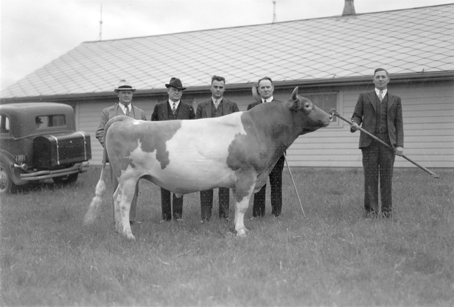 Five men stand behind a large bull, 1935