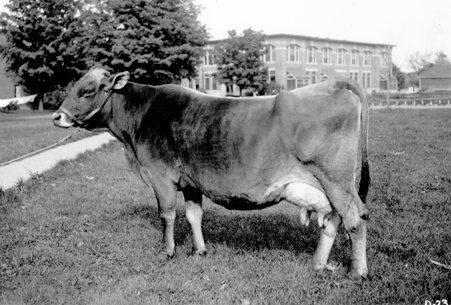 A picture of a large cow on campus, 1918