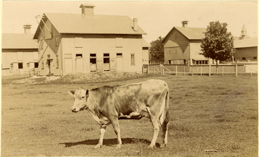A picture of a cow in front of barns, 1896