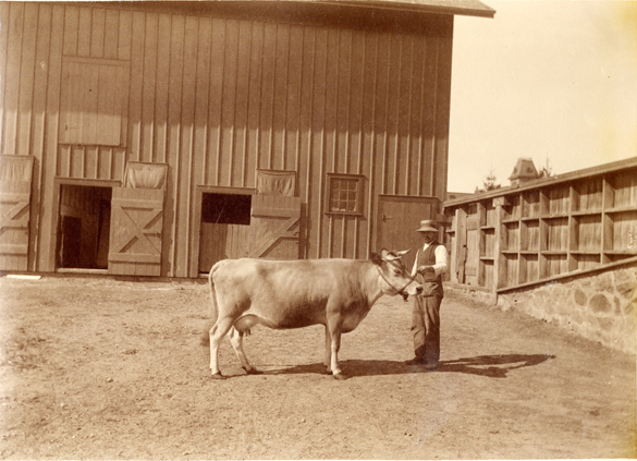 A farmer displays his cow for the Worlds Columbian Exposition, 1892
