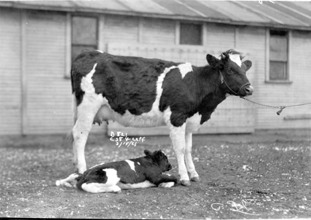 A cow and her calf in front some MSU barns, 1926