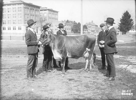 Cow on display, undated