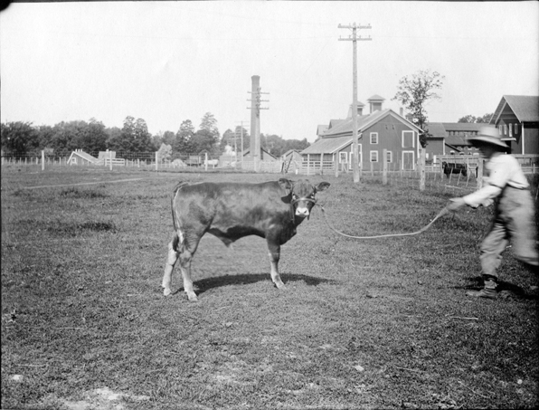 Man showing cow, 1904