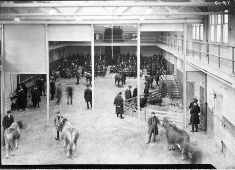 Cows and other animals on display, undated