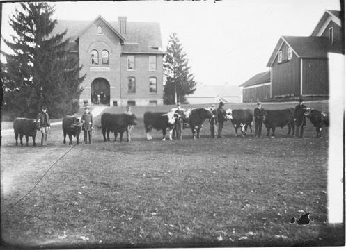 Cows at International Show Stock, 1901