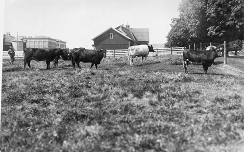 Cows graze in a pen