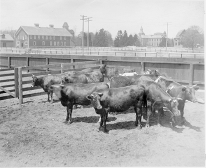 Cows stand in a pen