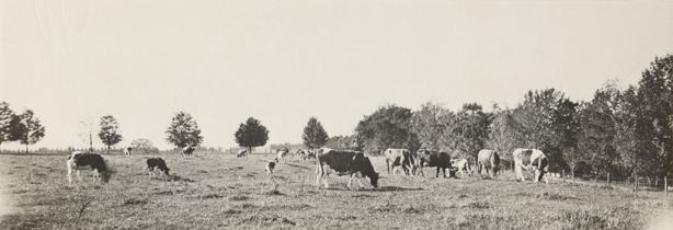 A panoramic view of cows