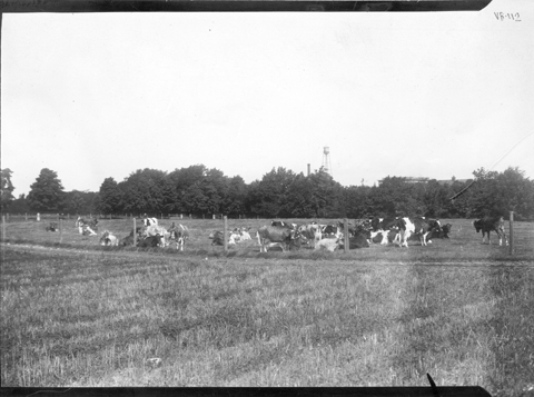 Cows grazing in a fenced field