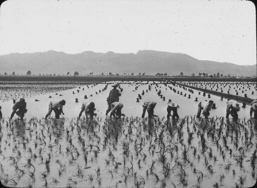 Workers harvest a crop in a Spanish flooded field, undated