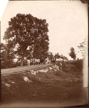 Cows crossing bridge, date unknown