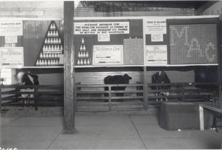 Cows in an MAC exhibit, 1921