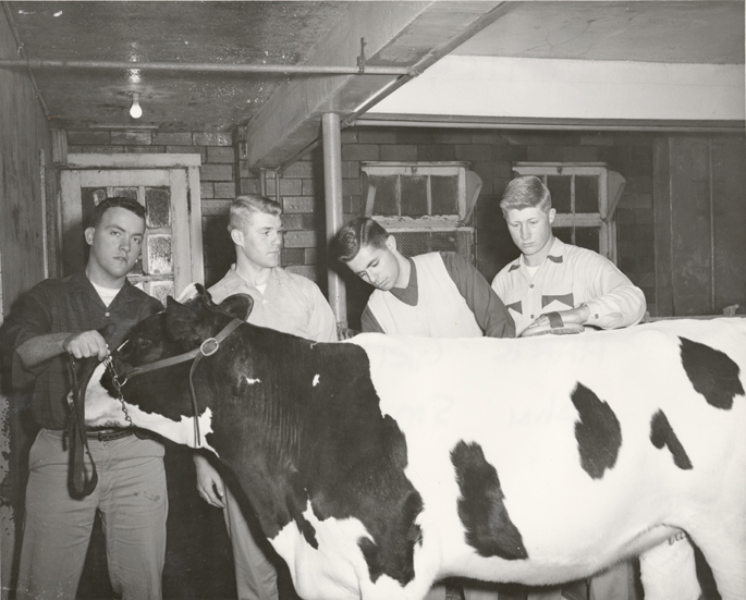 Members of the Dairy Club show a cow, 1957