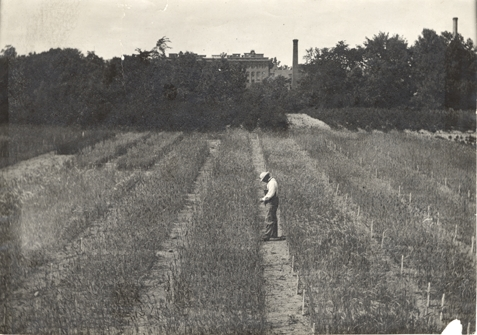 A man examines a row of crops, date unknown