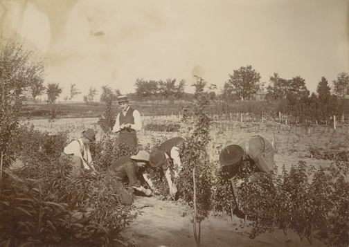 Five men working with a row of plants, date unknown