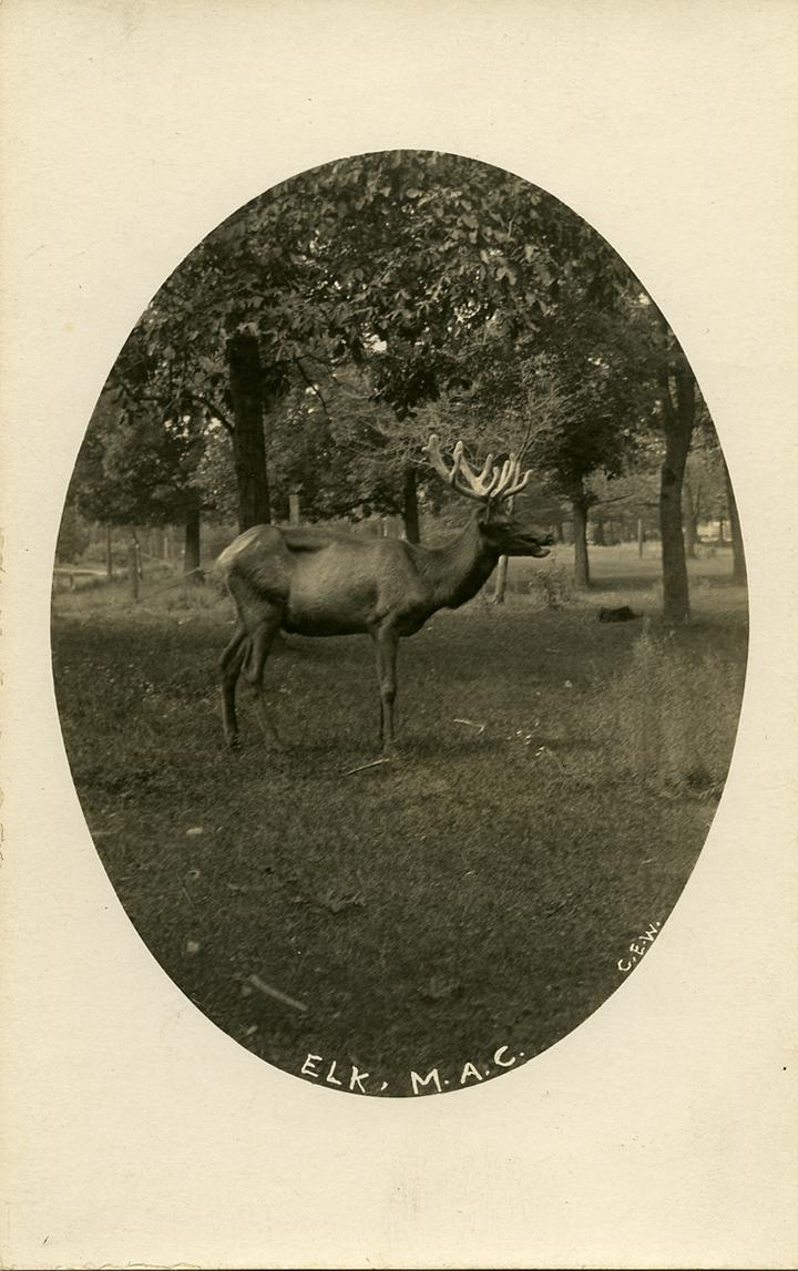 Elk in the Deer Park, ca. 1907