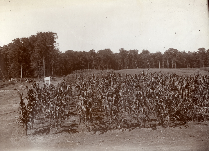 Field of Corn, Chatam Experiment Station