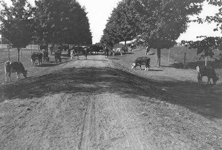 Cows graze near a dirt road, 1908