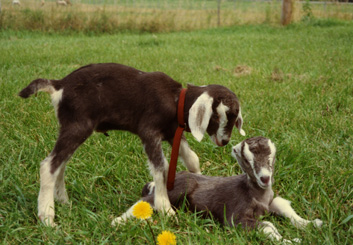 Goat kids V251/252 & V255 at the Veterinary Research Farm, August 1989