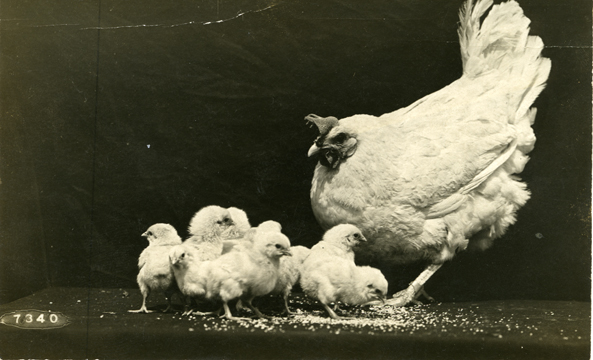 Hen and her chicks, undated