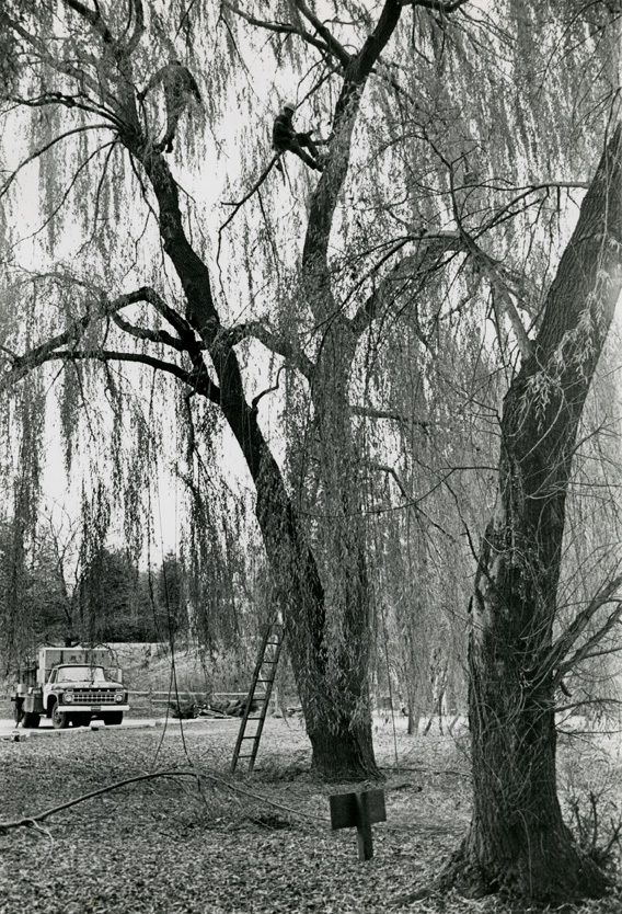 Grounds keeper in tree at Hidden Lake Gardens, 1969