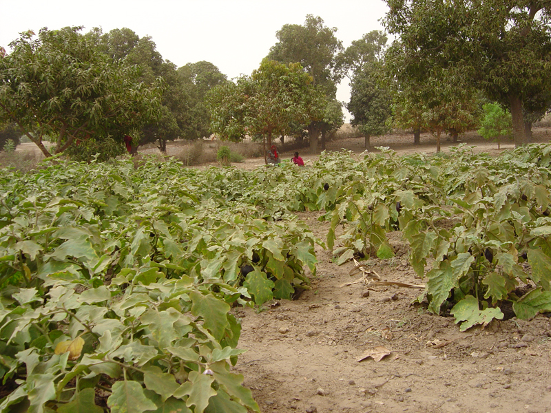 Photo of Bécaye Coulibaly's field in Ndiassane 3