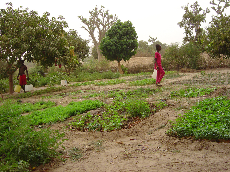 Photo of Bécaye Coulibaly's field in Ndiassane 4