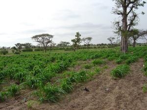 Photo of Ndankh fields
